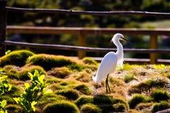 Witte aigrette op een park dichtbij een vijver Stock Afbeeldingen