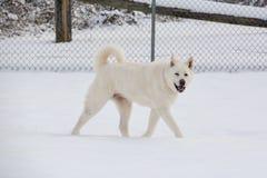 Witte Akita Walking in Sneeuw royalty-vrije stock afbeelding