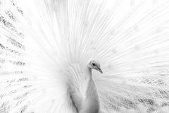 Witte albino mooie pauw Close-upbeeld van vogel stock afbeelding