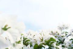 Witte Aleurites Montana Royalty-vrije Stock Afbeeldingen