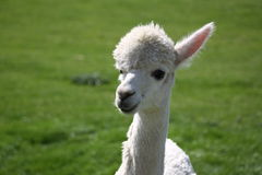 Witte Alpaca Stock Afbeeldingen