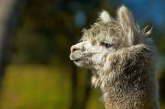 Witte alpaca Stock Afbeelding