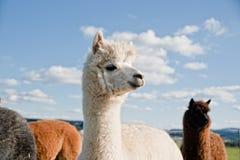 Witte Alpaca in een Kudde Stock Afbeeldingen