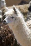 Witte Alpaca met Blauwe Ogen Stock Afbeelding