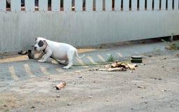 Witte Amerikaan intimideert puppy zijdelings neemt een rust van jogging bij stock afbeelding