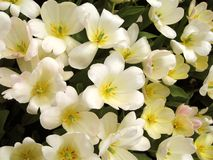 Witte & zuivere bloemen Stock Foto's