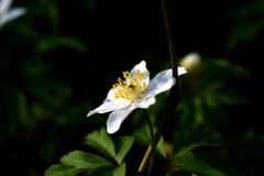 Witte anemoon Stock Fotografie