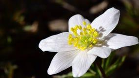 Witte anemoon Royalty-vrije Stock Afbeeldingen