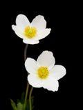 Witte anemoonbloemen Royalty-vrije Stock Foto's