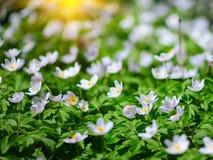 Witte anemoonbloemen die in de wildernis in een bos in de lente groeien Stock Foto