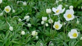 Witte anemoonbloemen op het openluchtgazon tegen het groene gebladerte stock footage