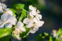 Witte appelbloemen in de lenteclose-up Stock Fotografie