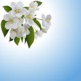 Witte appelbloemen met bladeren en knop Stock Foto's