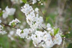 Witte appelbloemen Mooie bloeiende appelbomen achtergrond met bloeiende bloemen in de lentedag Zachte nadruk Stock Foto