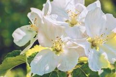 Witte appelbloesems op een achtergrond van groene bladeren, close-up Royalty-vrije Stock Foto's