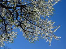 Witte appelboom Royalty-vrije Stock Foto's