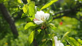 Witte Apple-bloesem Stock Foto's