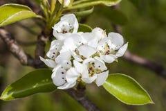 Witte Apple-Bloesembloemen Stock Foto's