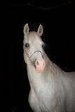 Witte Arabier Royalty-vrije Stock Afbeeldingen