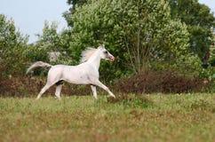 Witte Arabische hengst Royalty-vrije Stock Afbeeldingen