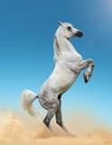 Witte Arabische hengst Royalty-vrije Stock Foto's