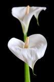 Witte aronskelkbloemen Stock Afbeeldingen