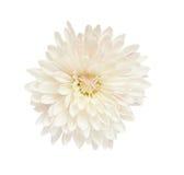Witte aster royalty-vrije stock afbeelding