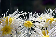 Witte aster stock afbeelding