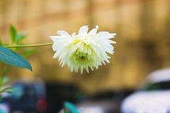 Witte asterbloem in tuin Stock Afbeelding
