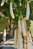 Witte aubergine in de tuin Royalty-vrije Stock Afbeeldingen