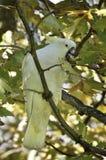 Witte Australische papegaai Royalty-vrije Stock Foto
