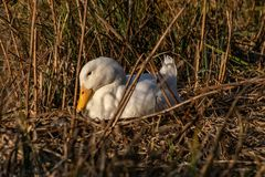 Witte aylesbury die pekineend op een nest van riet wordt geregeld stock foto's