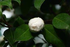Witte azalea Royalty-vrije Stock Foto's