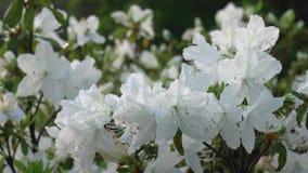 Witte Azalea of Pentanthera of Tsutsuji na de regen in de ochtendzon stock footage