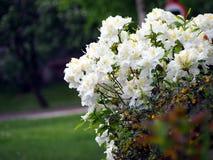 Witte Azalea - Rododendron royalty-vrije stock afbeelding