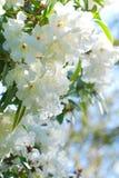 Witte Azalea's Stock Foto's