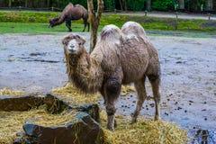 Witte Bactrische kameel met het natte bont kauwen op wat hooi, Geacclimatiseerd dier van Azië royalty-vrije stock foto