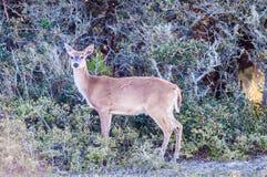 Witte bambi van staartherten Royalty-vrije Stock Foto's