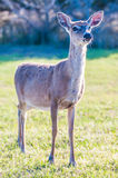 Witte bambi van staartherten Royalty-vrije Stock Afbeeldingen