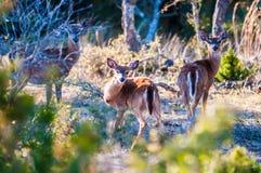 Witte bambi van staartherten Stock Afbeeldingen