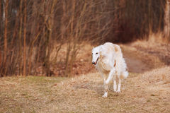 Witte Barzoihond, Barzoi, de Russische Jacht, Sighthound royalty-vrije stock foto's