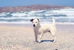 Witte bastaarde hond met een zwart oor op het strand in een onweer stock afbeeldingen
