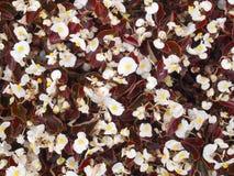 Witte begonia Royalty-vrije Stock Afbeeldingen
