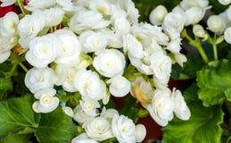 Witte begonia's Stock Afbeeldingen