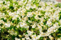 Witte Begoniabloem die in tuin bloeien Stock Foto