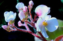 Witte Begoniaflowwers royalty-vrije stock foto's