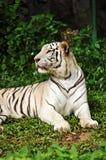 Witte Bengalen tijger Stock Foto's