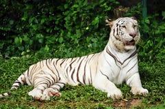 Witte Bengalen tijger Stock Afbeeldingen