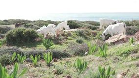 Witte berggeiten die op een rots door het overzees weiden stock video