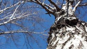 witte berk zonder bladeren stock footage